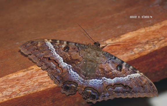Black Witch Moth (Ascalapha odorata)