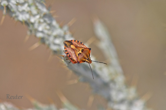 Purpur-Baumwanze (Carpocoris purpureipennis)