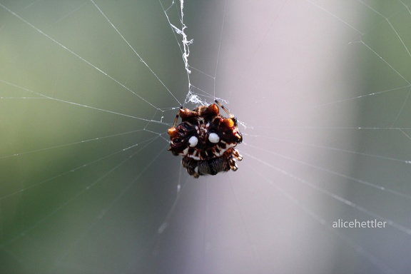 Asian Spiny Backed Spider (Gasteracantha mammosa)